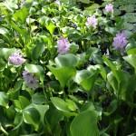 Eichhornia flos and flo buds (June 2012)