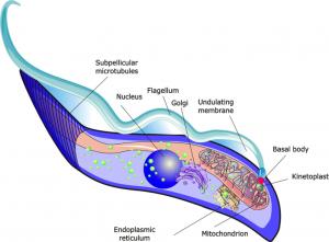 A diagram of a trypanosome parasite