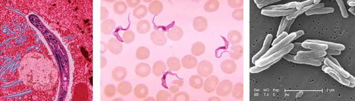 malaria and trypanosome parasites and tb bacteria