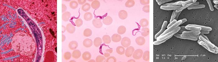malaria and trypanosome parasites and tb bacteria